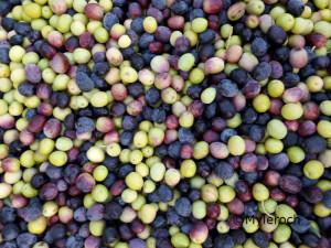 olives bollene Le Serre des Mourres